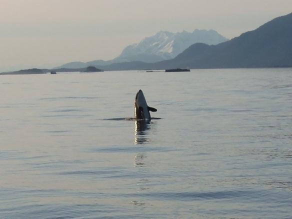 Breaching orca, Juneau AK